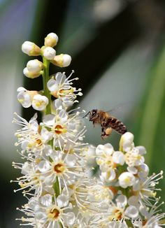 Fatsa'da Taflan Ağaçları (Karayemiş) Çiçek Açtı  Lütfi Aydın