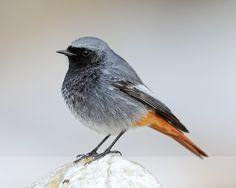 Black Redstart (male) at Brean Down, Somerset - Black Redstart. Like the colours of this bird!