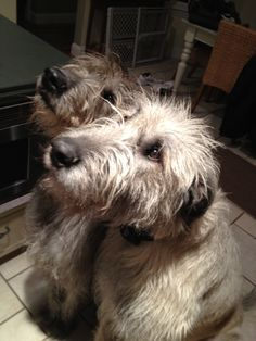 The boys... Seamus n Mickey Irish wolfhounds
