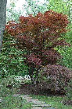 Oshio Beni Japanese Maple (Acer palmatum 'Oshio Beni') at Connon Nurseries CBV