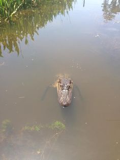 Alligators in the bayou, New Orleans