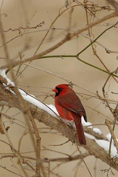 A male red cardinal by JohnHarmonGallery for $15.00