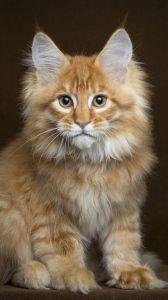 Precious Maine Coon kitten♥♥♥