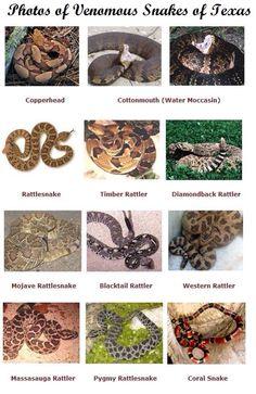 Photos of Venomous Snakes of Texas RUN. JUST RUN.