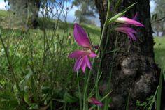 Gladiolus illyricus (gladiolos silvestres)