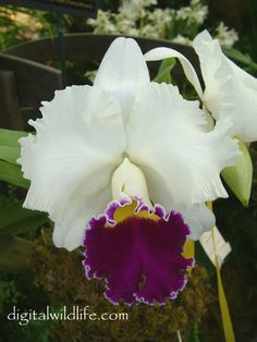 LC. Orglades Grand Yow Chang Beauty Genus: Laeliocattleya