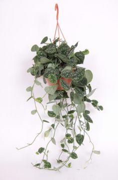 scindapsus hangplant - Google zoeken