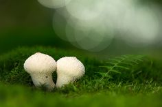 Flaschen-Stäubling │ Common puffball │Lycoperdon perlatum
