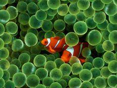 O nome Nemo (do filme Finding Nemo - Disney e Pixar) veio trazer muita atenção a estes peixinhos. Na verdade, o nome correcto é peixe palhaço.