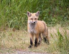 Red Fox Cub by Moose Henderson on 500px