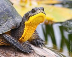 The Blandings Turtle is easily identifiable by its bright yellow throat.  The species is endangered due to habitat fragmentation and destruction as well as nest predation by unnaturally large populations of predators.  by Derek D. Dafoe