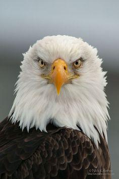 American Bald Eagle Portrait