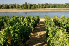 On bike or on foot, you can go through the #vineyards to enjoy the peaceful #Loire river.