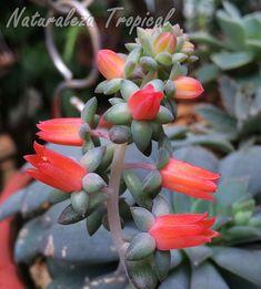 Inflorescencia (flores) de la planta suculenta Echeveria carnicolor