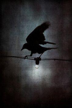 crowlight | Katrina Mayer
