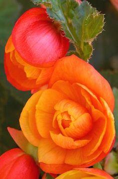 Begonia http://www.easydiyaquaponics.com/?hop=megairmone_expid=72845115-1 Free…