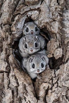 he Siberian flying squirrel is an Old World flying squirrel with a range from the Baltic Sea in the west to the Pacific Coast in the east. It is the only species of flying squirrel found in Europe. Nature Animals, Animals And Pets, Funny Animals, Jungle Animals, Japanese Dwarf Flying Squirrel, Baby Flying Squirrel, Cute Squirrel, Cute Little Animals, Adorable Baby Animals