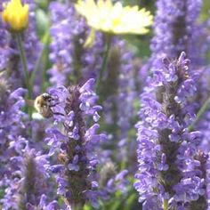 Nepeta nervosa - Nepeta nervosa is a dense shrubby perennial flowering in late summer with short dense spikes of pure blue flowers. Best in well drained soil in full sun. Cut back after flowering. 30-60cm