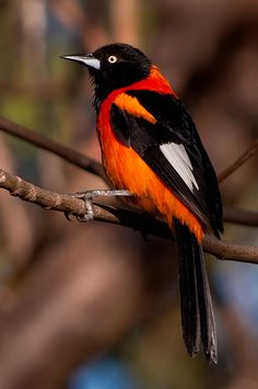 Orange-Backed Troupial, Oriole à dos orange / animaux / oiseau / passereau / orange / noir