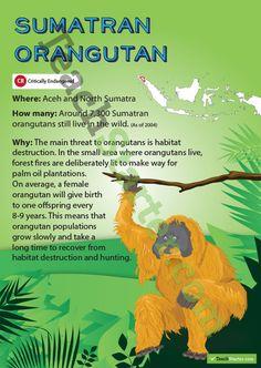 Sumatran Orangutan Endangered Animal Poster | Teaching Resources - Teach Starter