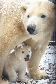 First France-born polar bear in over 20 years The baby bear is still un-named as… First France-born polar bear in … Cute Baby Animals, Animals And Pets, Bear Cubs, Polar Bears, Panda Bears, Beautiful Creatures, Animals Beautiful, Mon Zoo, Monthly Baby Photos