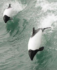 Commerson´s Dolphin,Punta Arenas, by Fernando Díaz Segovia