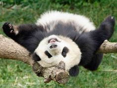 TIL All pandas in the world are on loan from China, and when a baby Panda is born, by agreement, it is sent back to China to help expand the gene pool. The baby pandas are shipped back by FedEx. Niedlicher Panda, Happy Panda, Cute Panda, Red Panda, Panda Funny, Funny Pets, Baby Animals, Funny Animals, Cute Animals