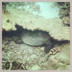 Kandolhu resident turtle and her favourite sleeping place in one of the channels  #maldives #turtle #kandolhu