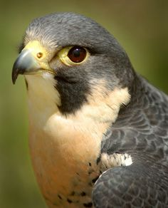 """Peregrine Falcon. I've wanted one of these ever since I read """"My Side of the Mountain"""" in like 4th grade."""