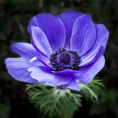 Limited edition Purple Anemone photograph by TygerDesign on Etsy