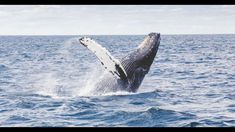 Friendly whales put on spectacular show for tourists