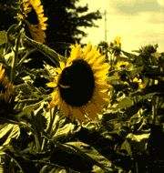 "The ASCFG Fresh Cut Flower of the Year for 2001 is Helianthus annuus ""Sunbright"". ""Sunbright"" is a pollenless sunflower variety that grows t..."