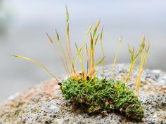 A bit of moss, showing both the gametophyte and sporophyte forms. Image: Bob Blaylock / Wikipedia
