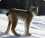 Canada Lynx-lynx canadensis, weight 8-14kg, height 60cm, length 90cm, life 15-20 years. FACT: did you know in the 1900's the lynx population faced a huge decline because of the fur trade.