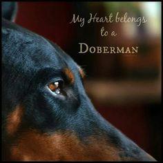My heart belongs to Dozer :) my #doberman #BestDogEver #Dogs