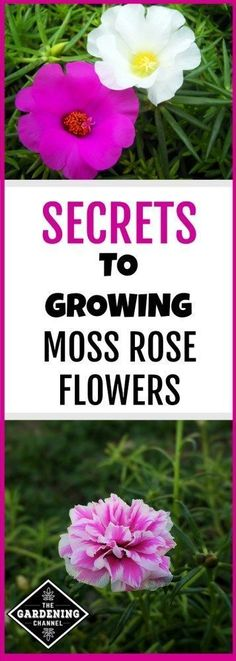 New Nice Adorable Flower Fragrant Blooms Swan Flower Seeds WST 01
