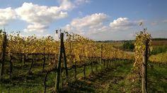 #Autunno #Autumn #Viti #Uva #Vino #Terricciola #Pisa #Toscana #Tuscan #Tuscany #Vineyard #Wine #Grapes #Endless #Nuvole #Clouds