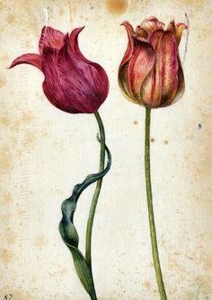 georg flegel - two tulips, c.1630, watercolour.