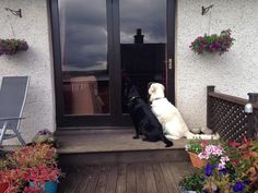 OMG, let us in! We can hear you chopping carrots! #goldenretriever #labrador #CarrotOClock