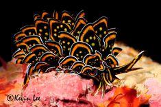 Luxury, bespoke aquarium designers choose to add weird and wonderful aquarium creatures - the nudibranch, sea slugs - to create a striking fish tank Underwater Creatures, Underwater Life, Ocean Creatures, Curious Creatures, Aquarium Architecture, Fauna Marina, Beautiful Sea Creatures, Sea Snail, Sea Slug