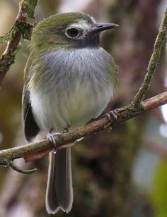 Zwartkeeltodietiran - Black-throated Tody tyrant (Hemitriccus granadensis)