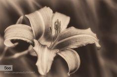 Flower by swosina. Please Like http://fb.me/go4photos and Follow @go4fotos Thank You. :-)