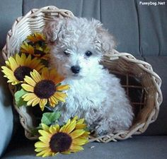 Daisy Dog ~~It is a cross between the Bichon Frise, a Poodle and a Shih-Tzu~~  ~ an option for us since they are hypo-allergenic.