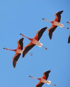 san pedro de atacama - flamingoes, Chile