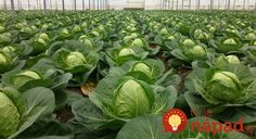 When to plant cabbage for seedlings? Grape Vineyard, Help Losing Weight, Lose Weight, Small Farm, Edible Garden, Gardening Tips, Grass, Cabbage, Plant Leaves