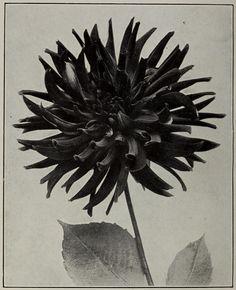 "🌞 This Ivy House 🌔 - nemfrog: ""Dahlia Ingress."" Catalog of dahlias. Ivy House, Botanical Illustration, Plant Leaves, Black And White, Dahlias, Plants, Pictures, Catalog, Cactus"