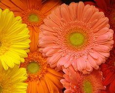 daisies pictures   ... Decorative Photo Art - Flowers: Gerber Daisies - Spokane, WAshington