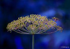 Symboliek Planten en bomen: anijs een takje anijs staat symbool voor jeugdigheid.