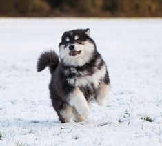 Infindigo Taysikuu Arvo (photo by Adele Liu) Adele, Husky, Puppies, Dogs, Animals, Animaux, Doggies, Animal, Animales