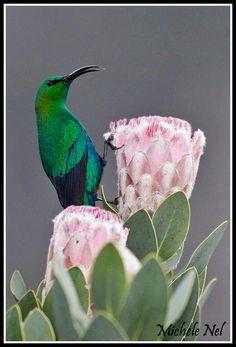 A Malachite Sun-Bird Perched on A Sugar-Bush Protea at Kirstenbosch Gardens, Cape Town, South Africa. Pretty Birds, Love Birds, Beautiful Birds, Small Birds, Colorful Birds, South African Birds, Sugar Bush, Humming Birds, Birdcages
